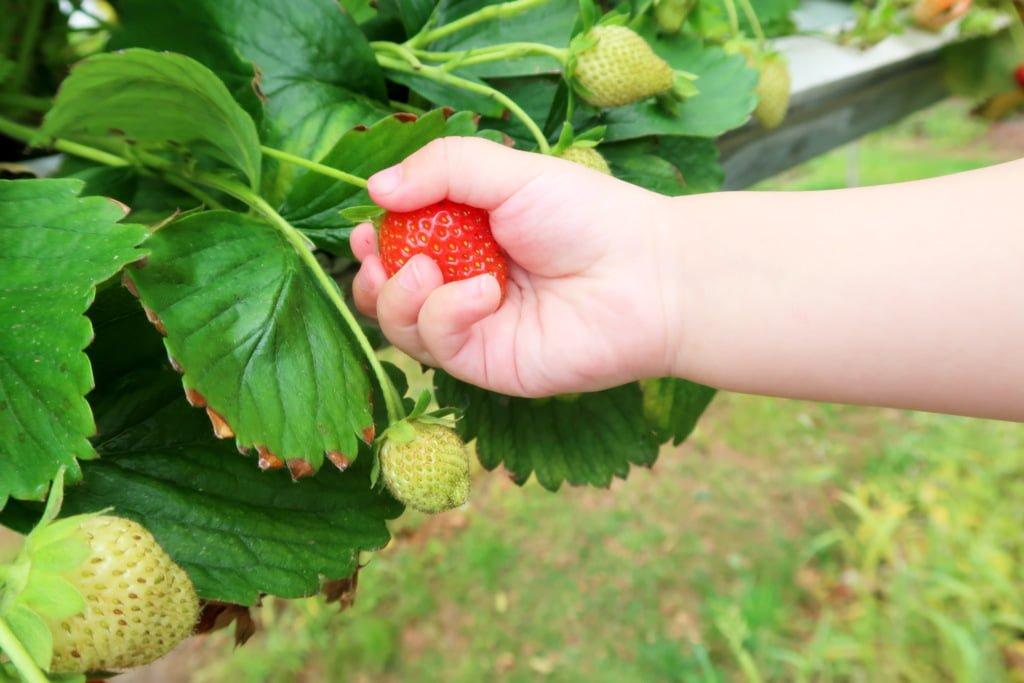 Tip voor de zomervakantie Twente Aardbeien plukken pluktuin Manderveense Aardbei - Mama's Meisje blog