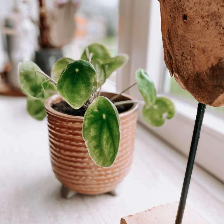 pannenkoekplant - Mama's Meisje blog